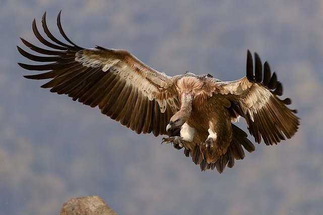 vulture-1209813_640